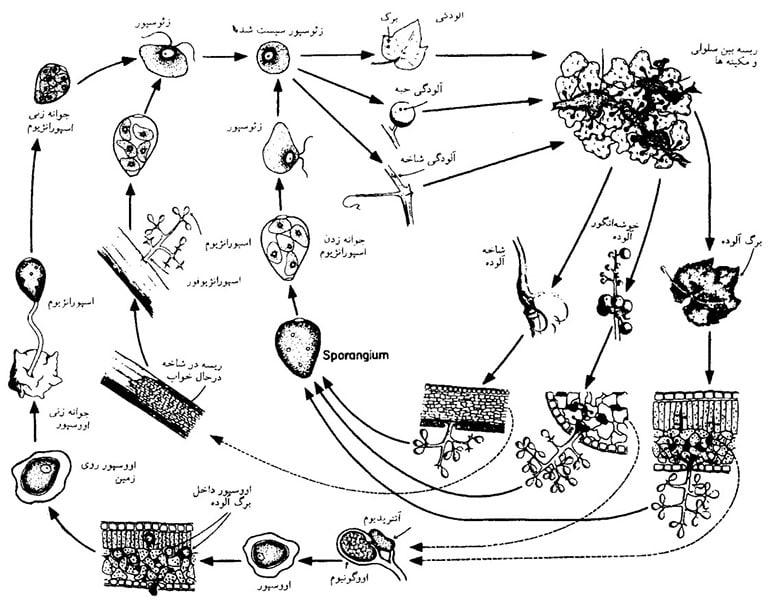 چرخه زندگی سفیدک کرکی انگور