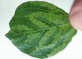 Bean common mosaic necrosis virus